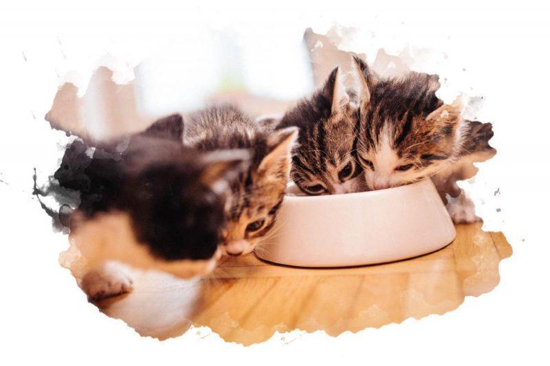 прикорм котят